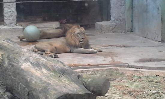 Emperor Valley Zoo: Lion looks bored and sick