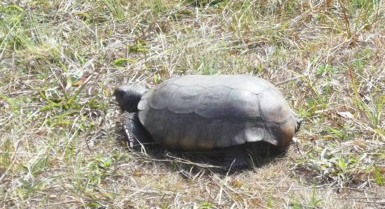 Lake Lizzie Nature Preserve: Protected gopher tortoise...do not disturb
