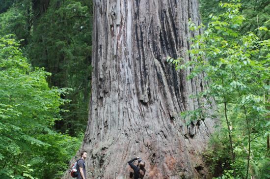 Redwood National Park, Kaliforniya: Big Tree is one of many giant specimens on the Newton Drury Scenic Parkway.