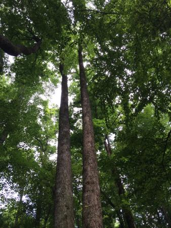 Cosby Campground: looking straight up from our tent-pad