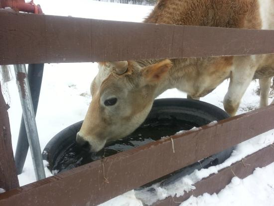 Taking a slurp of water - Picture of Catskill Animal Sanctuary
