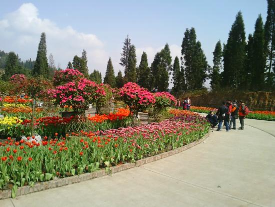 Xinjin County, Kína: Feb2015 Tulip Season