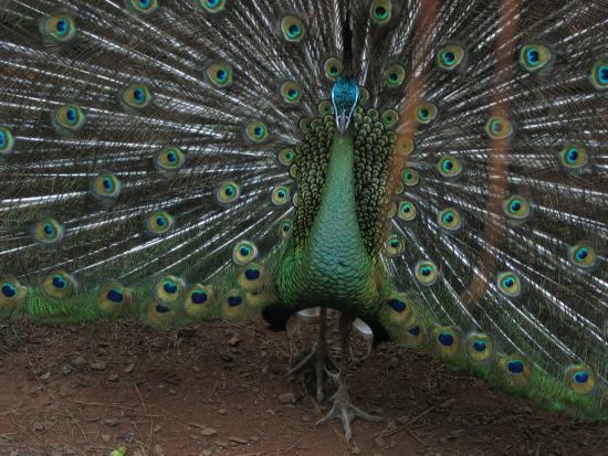 Montecarlo, Argentina: uno de los faisanes desplegando su belleza de plumas