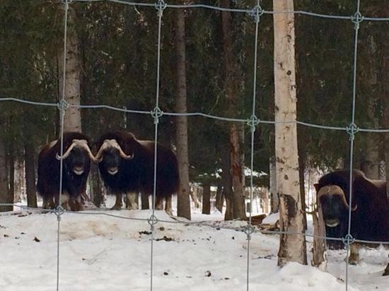Large Animal Research Station : musk oxen