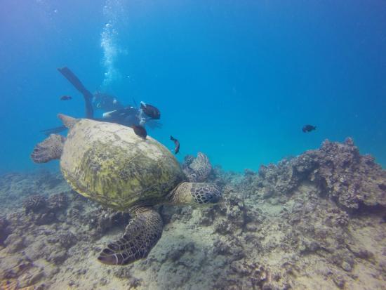 Banzai Divers Hawaii: Turtle Canyons Dive
