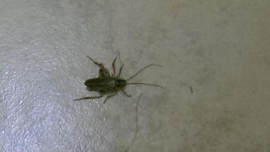 Stone Villa Inn San Mateo - San Francisco SFO : Bathroom floor Cockroach