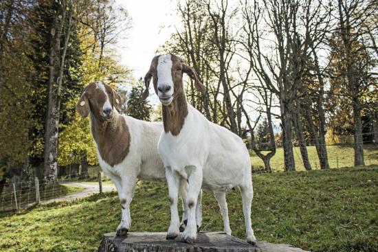 Moor & Mehr - BIO Kur-Hotel Bad Kohlgrub: Unsere Ziegen Paula & Lisa