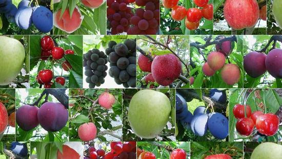 Nakagomi Fruit Orchard
