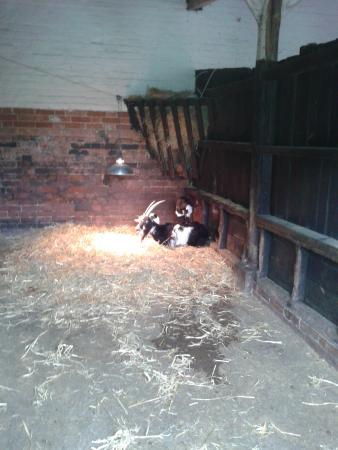 Easton Farm Park: pigmy goats