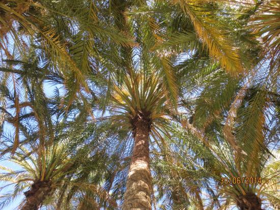 Playa El Bajondillo: На пальмах живут попугаи.