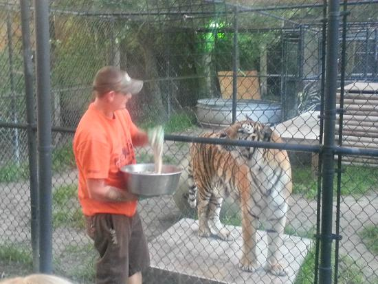 Tiger feeding picture of catty shack ranch wildlife for Sanctuary ranch