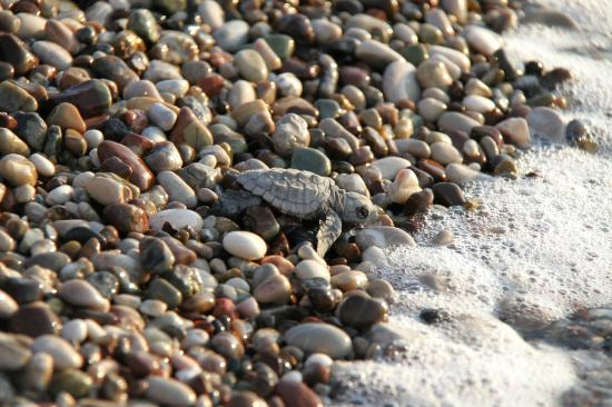 Akdeniz Bahcesi: Its possible the observe Caretta Caretta sea turtles from mid July until the first weeks of Octo