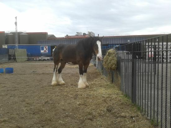 The National Brewery Centre: The resident 'Heavy' horse