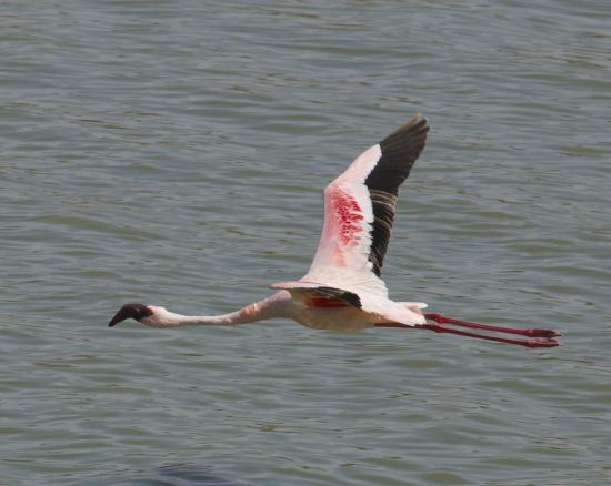 Half-Day Arusha National Park Tour: flamingo in flight