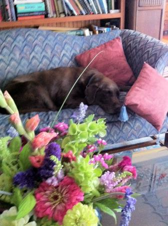Anne Hathaways B&B and Garden Suites: Cappy, our resident chocolate lab