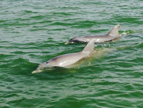 dolphin tour - Picture of No Pier Pressure Charters, Cape Coral ...
