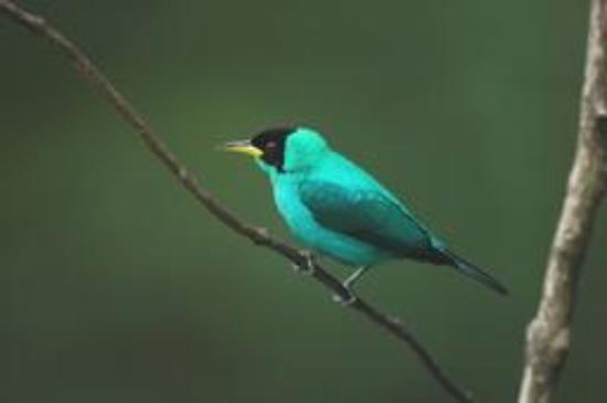 Trinidad and Tobago: Amazing bird life - Green Honeycreeper