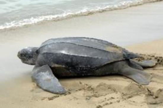Trinidad and Tobago: Leatherback Turtles returning to the sea