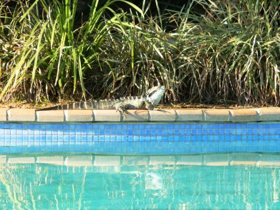 Boambee Bay Resort : Water Dragon on pool surround