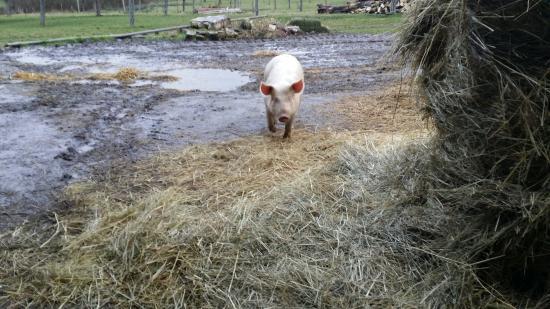 Les vaches avant la traite photo de ferme p dagogique du lieu roussel douville en auge - Papa cochon a la piscine ...