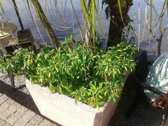 Il Giardino Beachfront Hotel: red and green chili pepper plant, like in a garden!!!