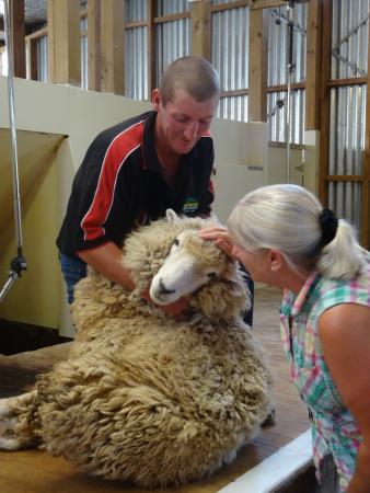 Akaroa Farm Tours: Stroking the sheep (before it's sheared)