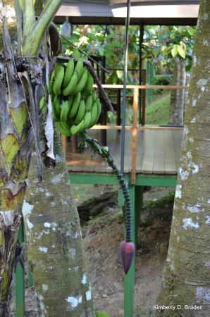 Rio Tico Safari Lodge : Banana pod next to our room