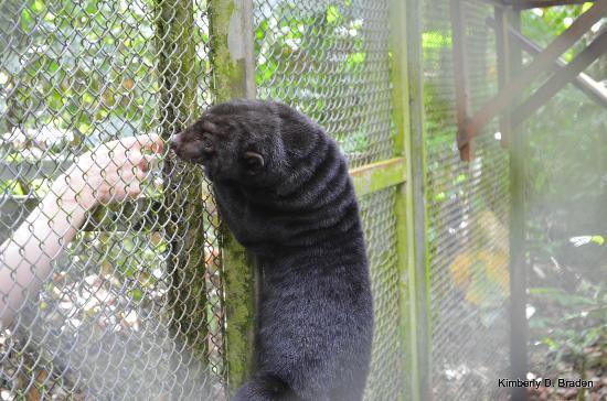 Osa Wildlife Sanctuary: Rescued Tayra