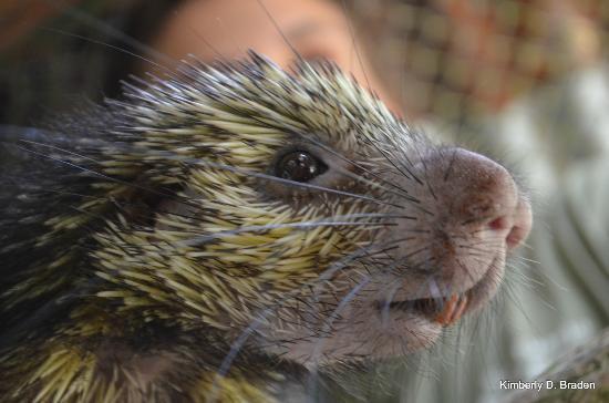 Osa Wildlife Sanctuary: Rescued Porcupine