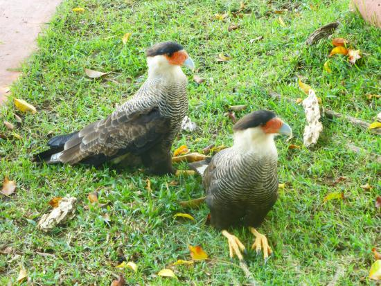 Pantanal Mato Grosso Hotel: Southern caracaras beneath the bird table at the hotel