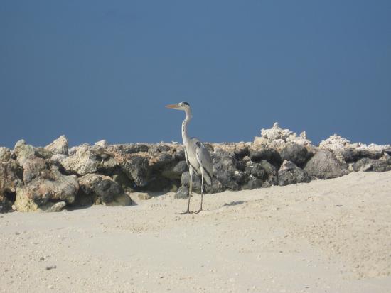 Giravaru Resort : abitanti dell'isola