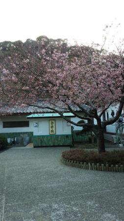 Tanjoji : 満開の河津桜