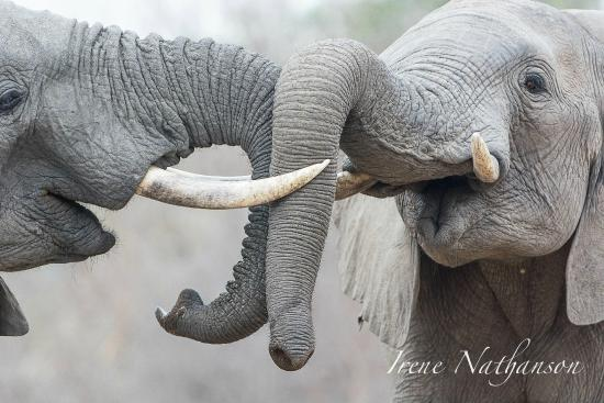 Londolozi Pioneer Camp: elephant fight