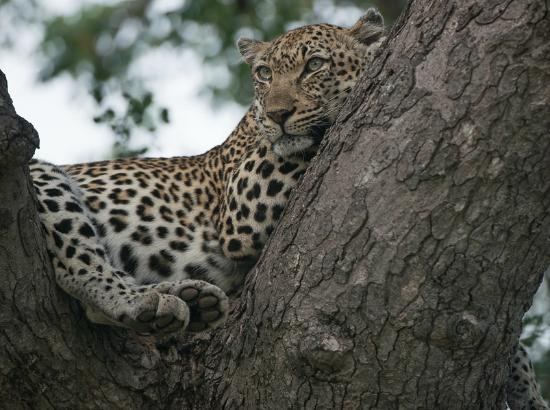 Timbavati Private Nature Reserve, Sydafrika: female leopard