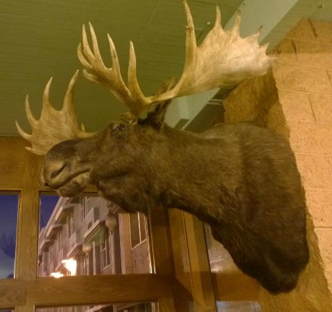 Regency Fairbanks Hotel: friendly moose