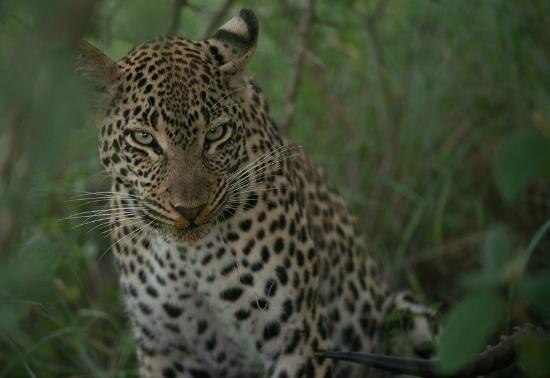 Lion Sands Ivory Lodge: female leopard with kill