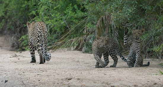 Lion Sands Ivory Lodge: female leopard with her cubs