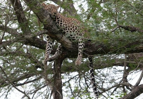 Sabi Sand Game Reserve, África do Sul: leopard resting up