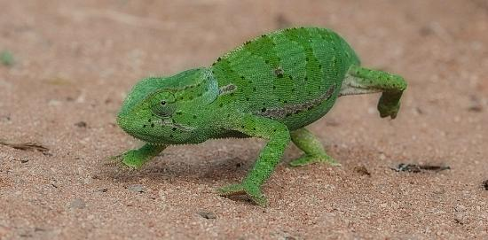 Sabi Sand Game Reserve, South Africa: chameleon