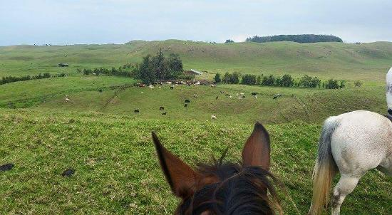 Dahana Ranch: Lots of cattle!