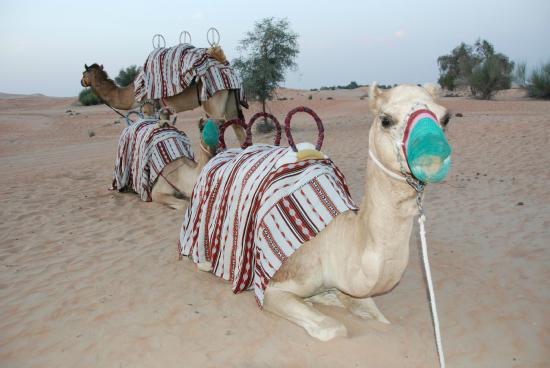 Arabian Adventures: camellos para el paseo