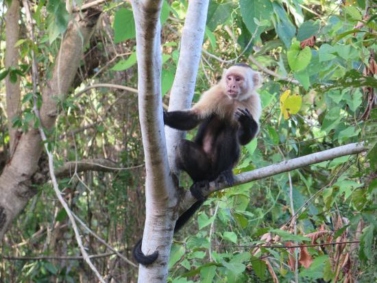 Agua Vista: a monkey, close from the house