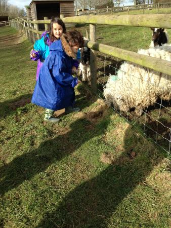 Sacrewell: FEEDING THE SHEEP AND GOATS