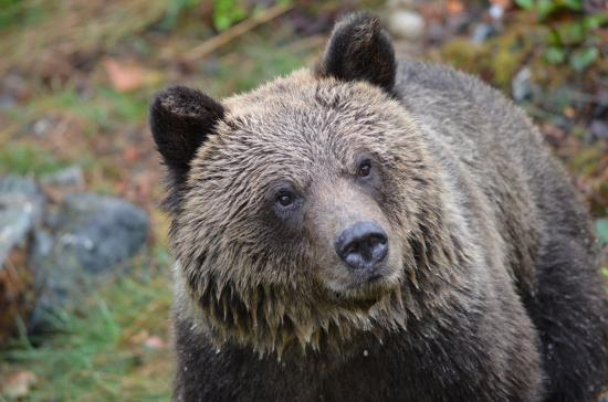 Grizzly Bear Lodge & Safari: Grizzly Bear Watching Knight Inlet BC
