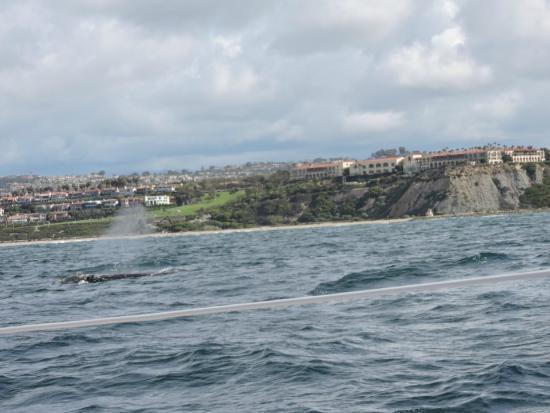 Dana Point, Kaliforniya: Gray whales