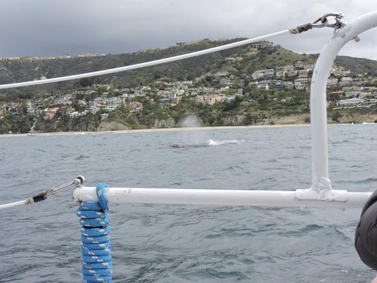 Dana Point, Kaliforniya: Gray whale