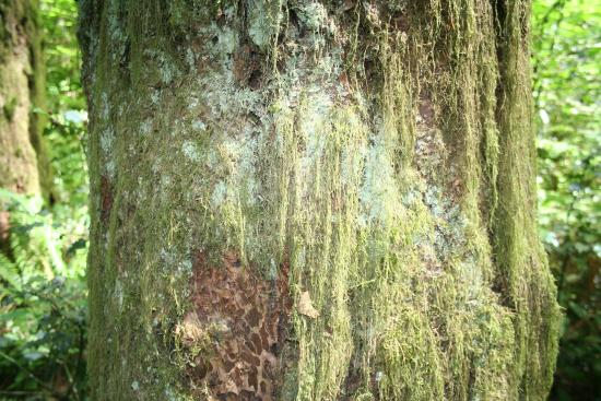 Watershed Park: Moss on very large tree