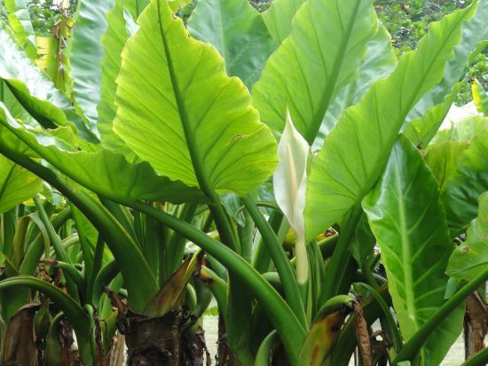 plante arome g ante photo de ssr botanic garden pamplemousses tripadvisor. Black Bedroom Furniture Sets. Home Design Ideas