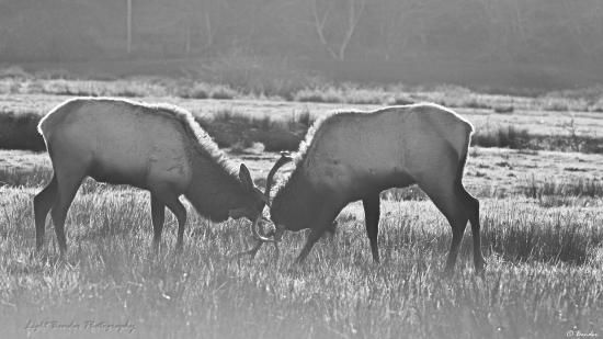 Dean Creek Elk Viewing Area: Elk Mock Fighting in the Morning Sun