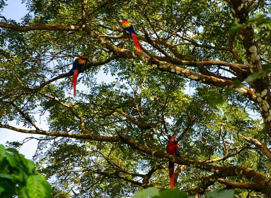 Coyaba Tropical Bed and Breakfast: Scarlet Macaws